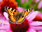Butterfly on a Coneflower f