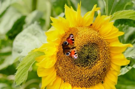 Sunflower and Butterfly - Flowers & Nature Background ...