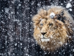Winter Lion