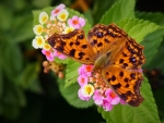 Butterfly on Polygonia Flowers