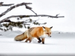 Red Fox Concentrating F