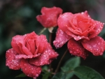Drops on Pink Roses