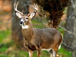 White-tailed Buck f
