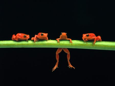 Frogs On A Branch - tropical, frog, amphibion, rainforest, red