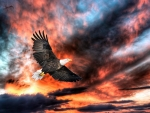 Eagle in Flight Sunset