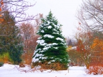 Evergreen and Snow