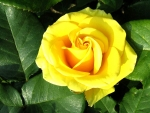 Bright Yellow Rose