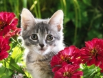 Cute Kitten among Red Flowers