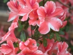 Pinkish Red White Azaleas