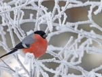 Chilly bullfinch
