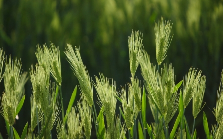 Barley - grain, green, summer, barley