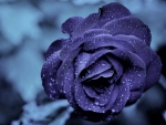 Water Drops on a Purple Rose