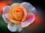 Light Colorful Rose
