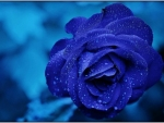 Drops on Blue Rose