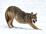 Wolf Stretching in the Snow f