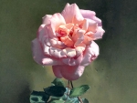Pink Rose With Ant