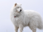 Big White Fluffy Samoyed
