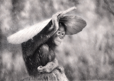 Rainy day - monkey, bw, white, black, leaf, orangutan, animal, primate, rain