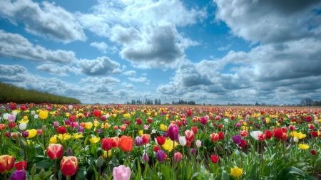 Tulips Field at Sunny Day - tulips, field, clouds, flowers, landscape, sky, nature