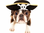 Pirate puppy