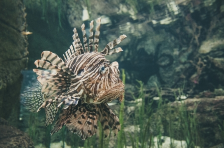 LionFish - animal, swim, Lion, fish
