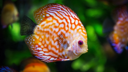 Fish - pink, green, summer, orange, fish, eye