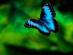 Magnificent Blue Butterfly