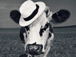 Fency cow