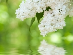 White Lilacs Reflected
