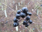 Dark Berries