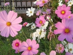 white and Pink Cosmos