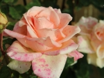 Pale Orange Roses with Pink Spots