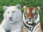 Lovely tigers