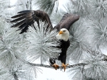 Bald Eagle on Pine Tree