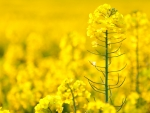 Field of Yellow