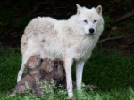Mother Wolf and Babies