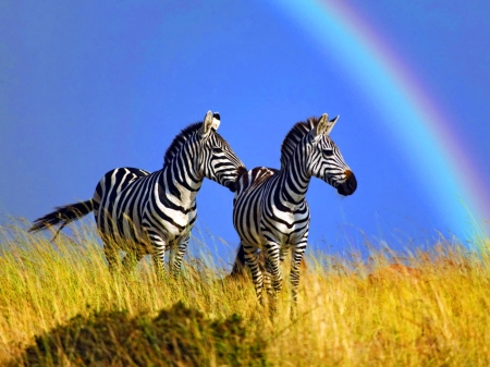 Zebras - rainbow, zebra, yellow, couple, blue, cute