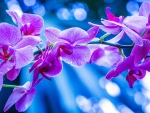 Purple orchids background