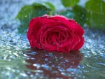 red rose in rain