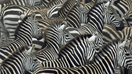 Zebras - stripes, animal, zebra, white, texture