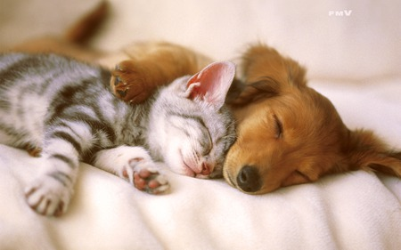 Kitten and Puppy Sleeping - dogs, animals, kitten, cats, cute, cat and puppies, puppy
