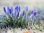 Morning Dew on the Crocus