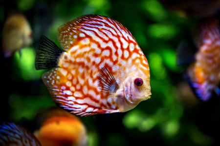 Discus Fish - photography, seascape, colorful, beautiful, fish, discus, photo, nature, wide screen, underwater