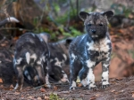 Painted Dog Pups