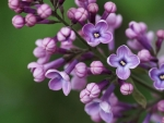 Branch of Lilac