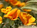 California Golden Poppies C