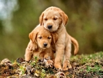 Golden Retriever Puppies F