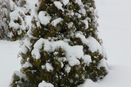 Snow fall on Junipers - Landscape, Junipers, Snow, Winter
