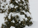 Snow fall on Junipers