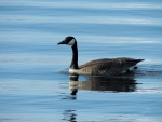 Goose On Little Lake